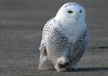 Farmers Only Reviews >> Harry Potter's owl invading Chicagoland — Evanston news, photos and events — TribLocal.com