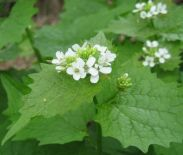 Garlic mustard (Alliaria petiolata) is a forest invader introduced by European colonists (Photo from King County, WA website)