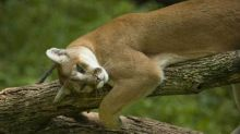 A cougar at Wildlife Prairie State Park near Peoria. (E. Jason Wambsgans/ Chicago Tribune / June 14, 2012)