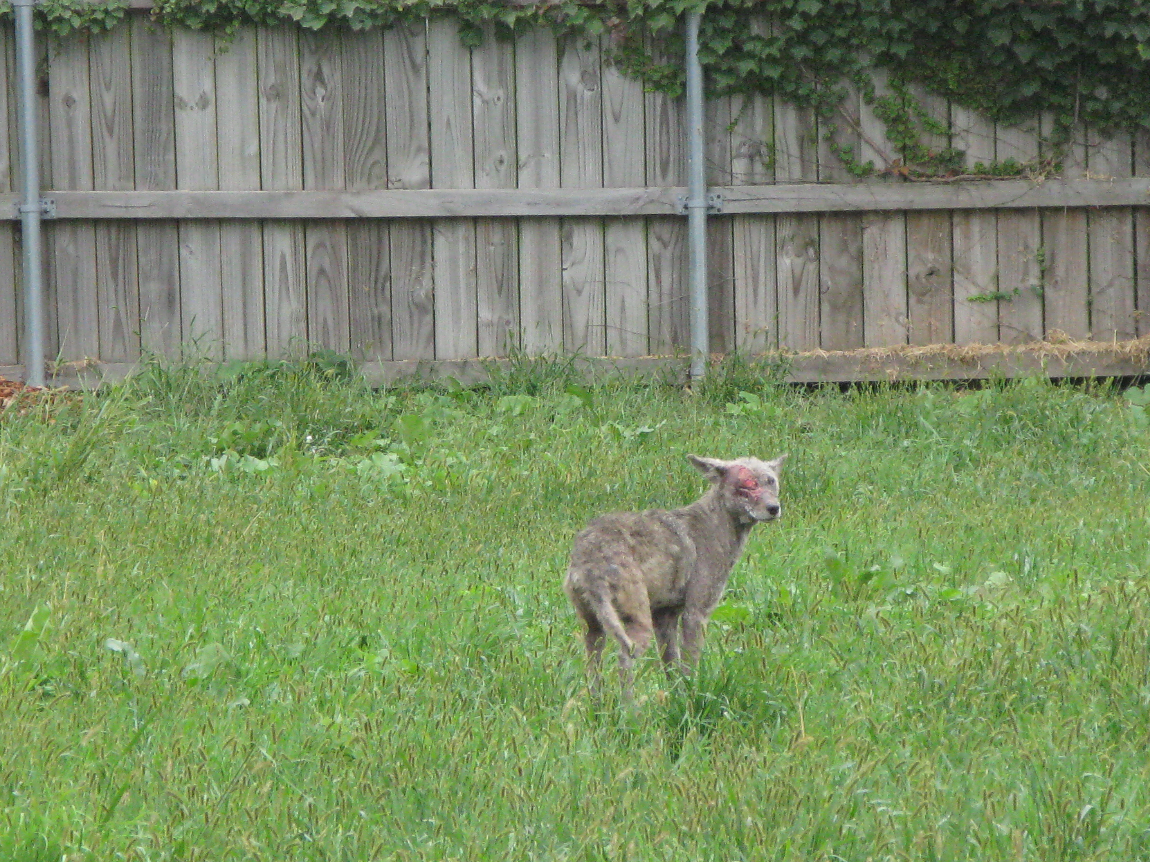 Coyote In My Backyard Design Inspirations